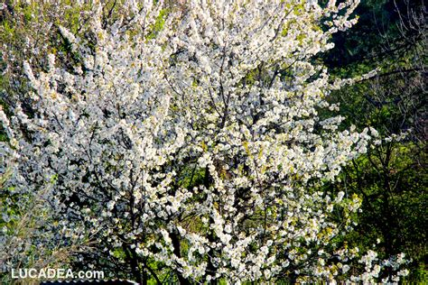 alberi in fiore alberi in fiore foto