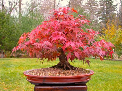 japanese maple bonsai growing tips small garden ideas