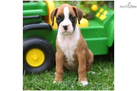 puppies for sale 50 dollars boxer puppies for 50 dollars breeds picture