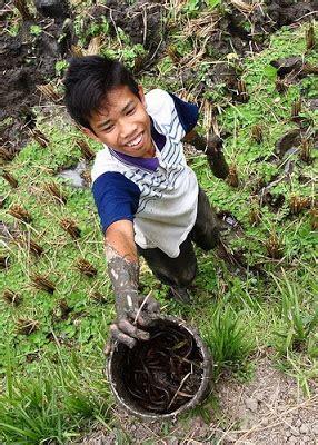 Bibit Belut Bandung mina padi belut bisa aquamina