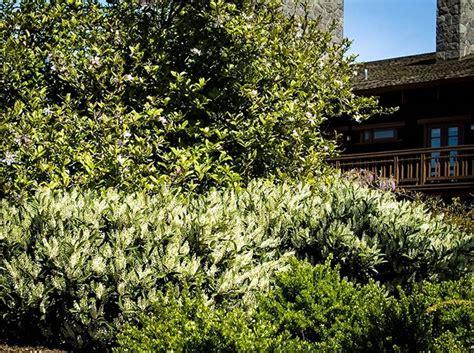 lauroceraso in vaso lauroceraso piante da giardino siepe lauroceraso