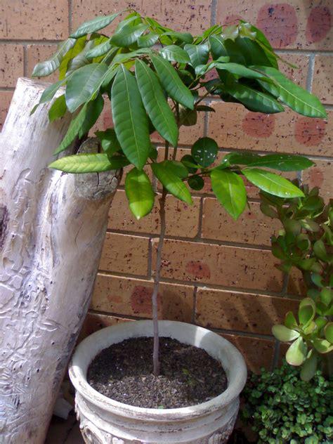 how to grow longan fruit trees longan kohala seedling tree dimocarpus longan