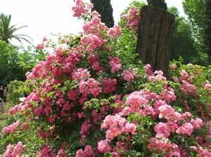 rosse roma rosa luciano del bufalo ibrido di rosa moscata mimma