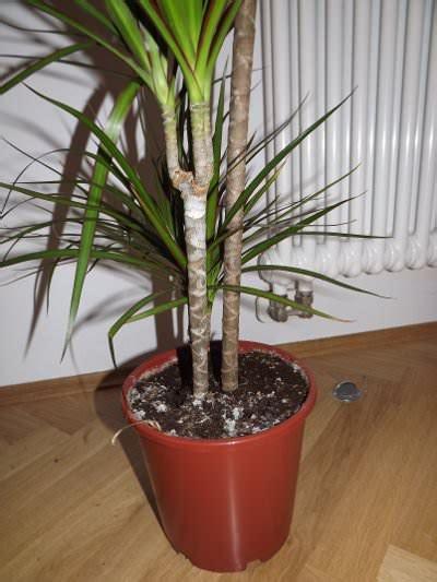Als Zimmerpflanze by Drachenbaum Schneiden Drachenbaum Als Zimmerpflanze Und