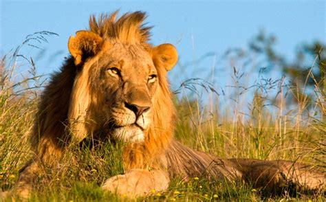 imagenes de leones lindas re los animales mas raros auto design tech