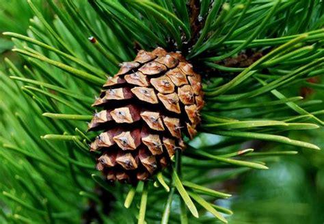 pine cone tree my house stinks fresh by northwest
