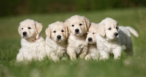 what to buy for a puppy what to look for when buying a puppy the happy puppy site