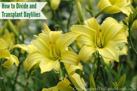 how to divide and transplant daylilies one hundred