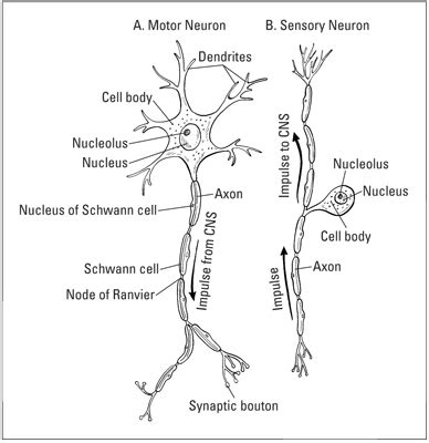 simple neuron diagram the basic structure of a motor neuron and b sensory
