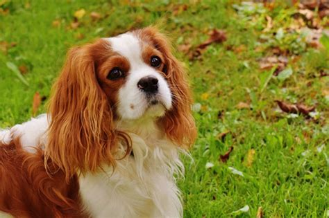 best emotional support breeds 8 best therapy breeds for emotional support nursebuff