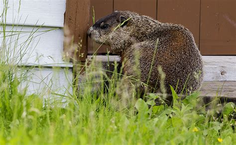 how to get rid of groundhogs on your property