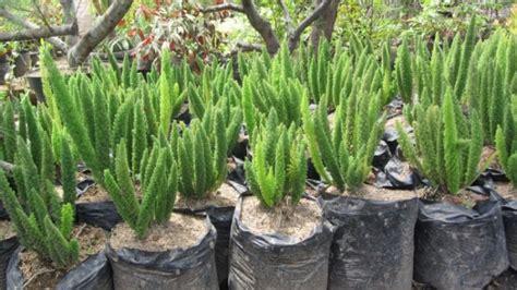 Tanaman Daun Ekor Tupai menanam dan budidaya bunga ekor tupai satu jam