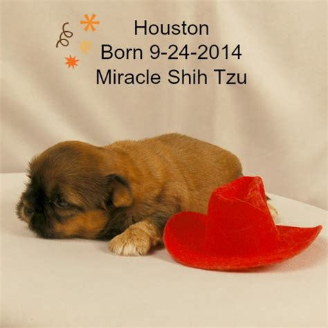 houston shih tzu houston shih tzu puppy