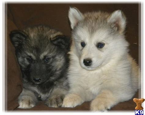 wolf puppies for sale in california wolf puppy for sale wolamutes ready now in california 3 years