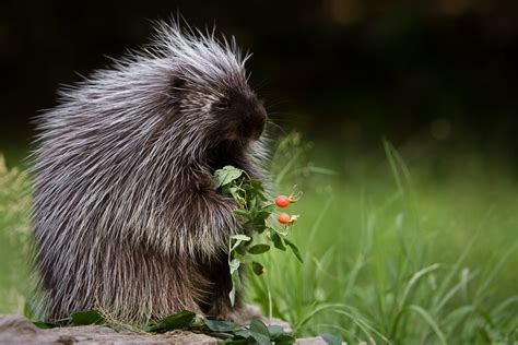 porcupine quills inspire new medical innovations