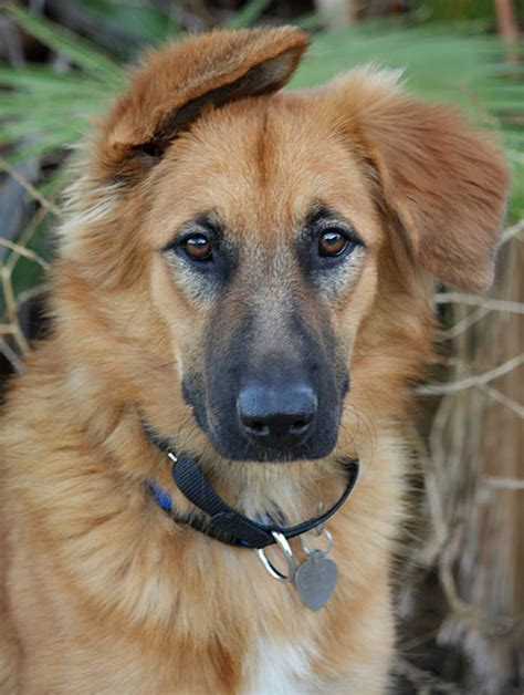 golden retriever german shepherd mix 1000 images about golden shepherd dogs on