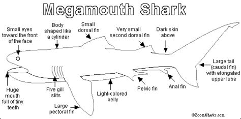 shark anatomy coloring page megamouth shark printout zoomsharks com