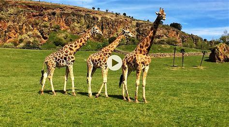 imagenes de jirafas para jardin video jirafas cabarceno el tomavistas de santander