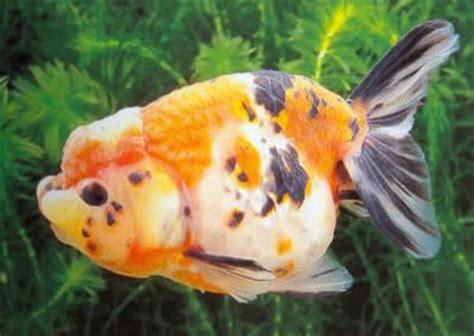 Oranda Rw Black Ranchu schleierschwanz und deren zuchtformen oranda rotkopf calico black