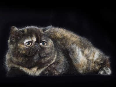 allevamento gatti persiani toscana gattipersiani it gatti persiani
