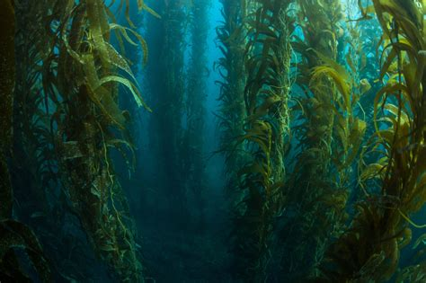 The In The Kelp as oceans warm the world s kelp forests begin to