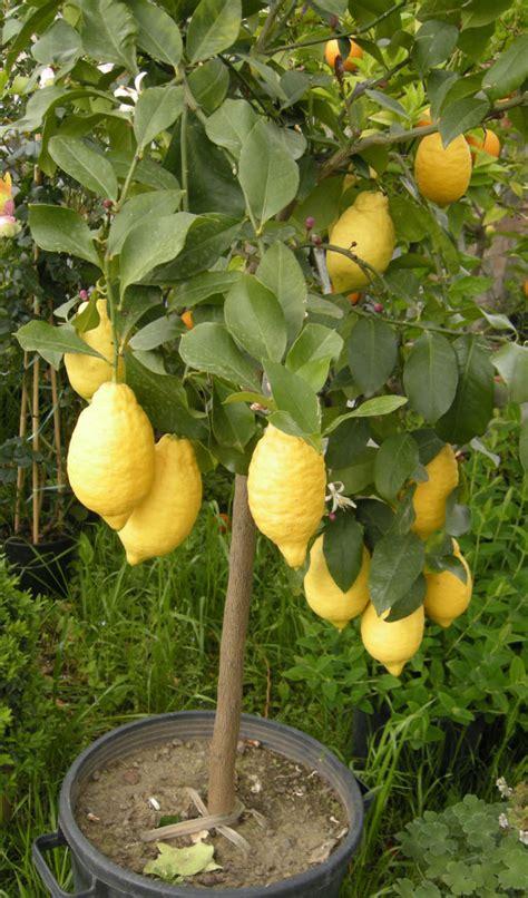 limoni coltivazione in vaso limone come coltivarlo in giardino e in vaso passione