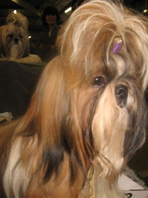 St Chanel Val chien elevage du de quercy eleveur de chiens shih tzu