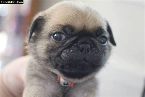 adoptable pugs pugs for adoption in kansas city breeds picture