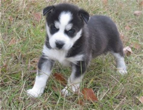 free puppies rochester ny puppies for adoption husky puppies rochester ny free husky puppies breeds picture