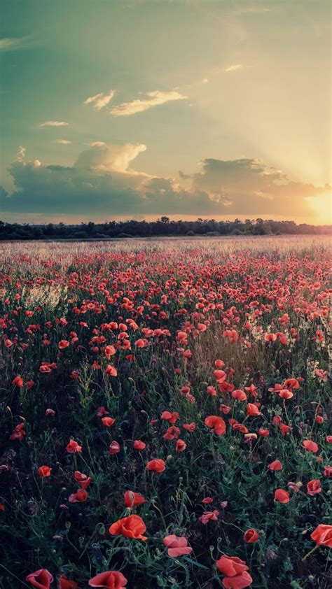 flowers farms sunshine sunset iphone wallpaper iphone