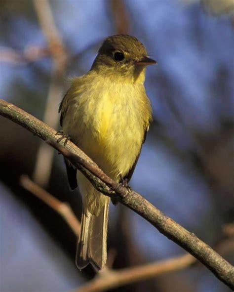 Yellow Belly yellow bellied flycatcher audubon field guide