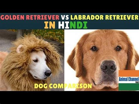golden retriever compared to labrador climb and paws up in doggies squad funnydog tv