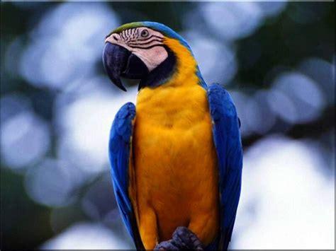 next wallpaper gold birds blue gold macaw wallpaper 8 good blue and gold macaws