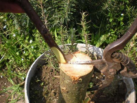 piante da frutto in vaso prezzi piante da frutto in vaso banano piante da giardino pianta di
