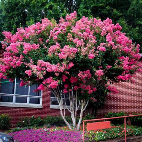pink velour crape myrtle  sale   tree center