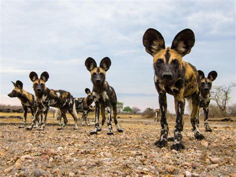 wild dogs desktop wallpaper hd wallpaperscom