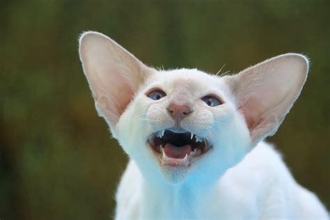 Free photo: Siamese Cat, Hiss, Ears, Big Ears   Free Image