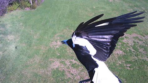 bird attack on syma x5c quadcopter during flight flying
