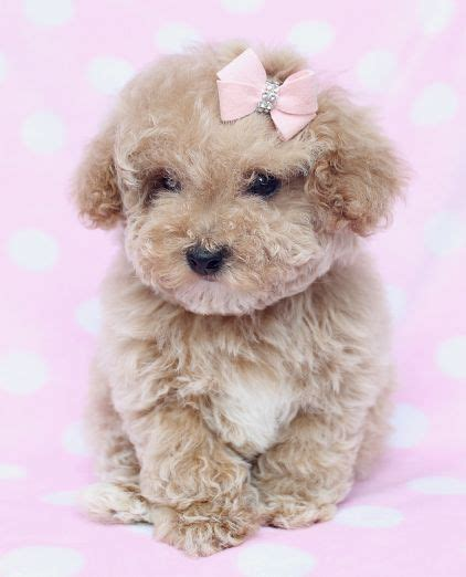 dogs for sale cumbria toy for dog toy for dog is she not adorable puppied pp toy poodle puppy for