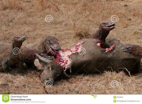 komodo dragons eating wild buffalo stock image image