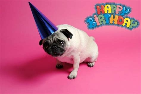 birthday pugs pug birthday card puggies