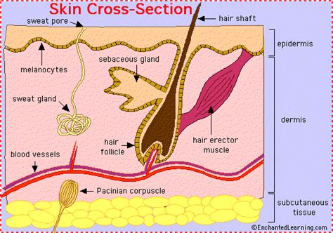 cross section of human skin skin anatomy enchantedlearning com