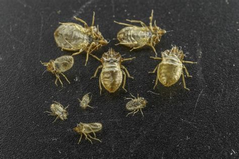 bed bug sheddings using bed bug shed skins to combat the pest e science news