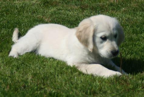 beautiful puppies beautiful golden retriever puppies wrexham wrexham pets4homes