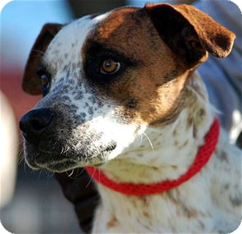 shippenville pa pointer boxer freckles adopted unionville pa pointer boxer mix
