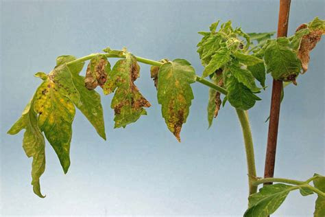 Egg Tree Fruit - new thrips transmitted plant viruses in florida crops 187 panhandle agriculture