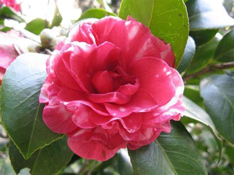 fiore perdono piante sempreverdi piante in giardino scopri le