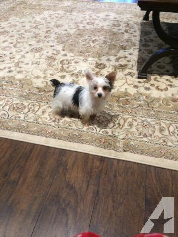 akc registered yorkies for sale akc registered parti yorkie for sale in columbus classified americanlisted
