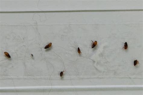 Fleas In Rug by Fleas In Carpet Carpet Vidalondon