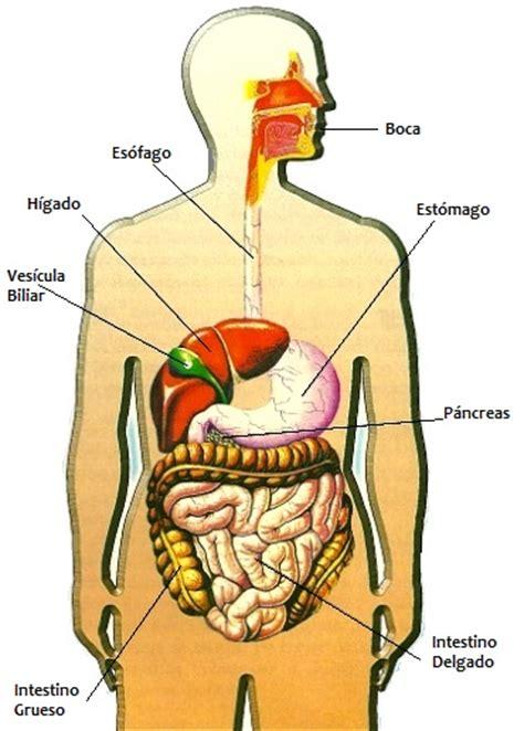 dibujo del aparato humano dibujos imagenes biologia sistema aparato 10 24 12